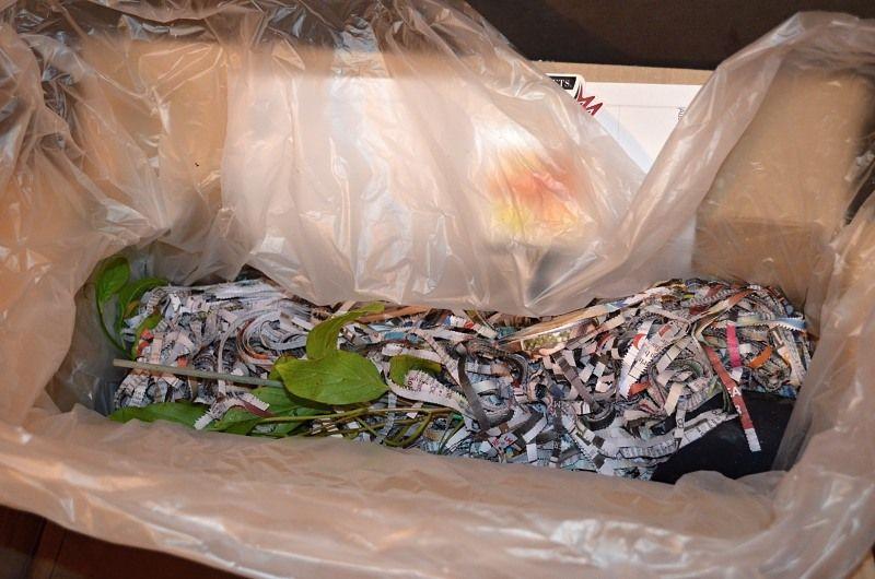 kiwiberry seedlings in box wrapped in wet shredded paper.jpg