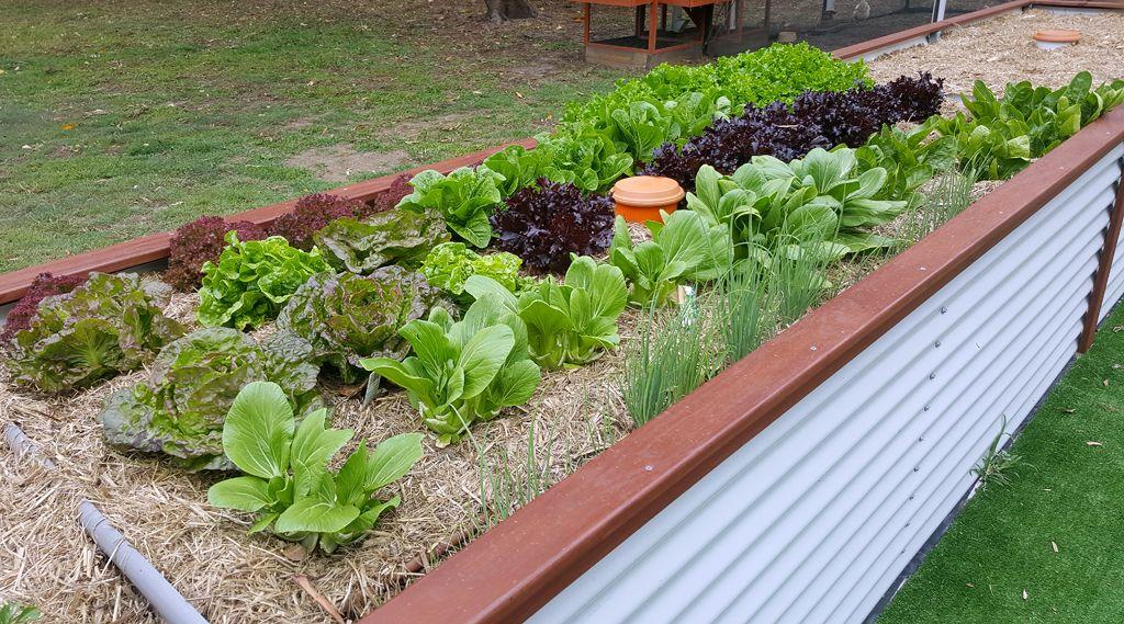 Lettuce,-Bokchoy.jpg