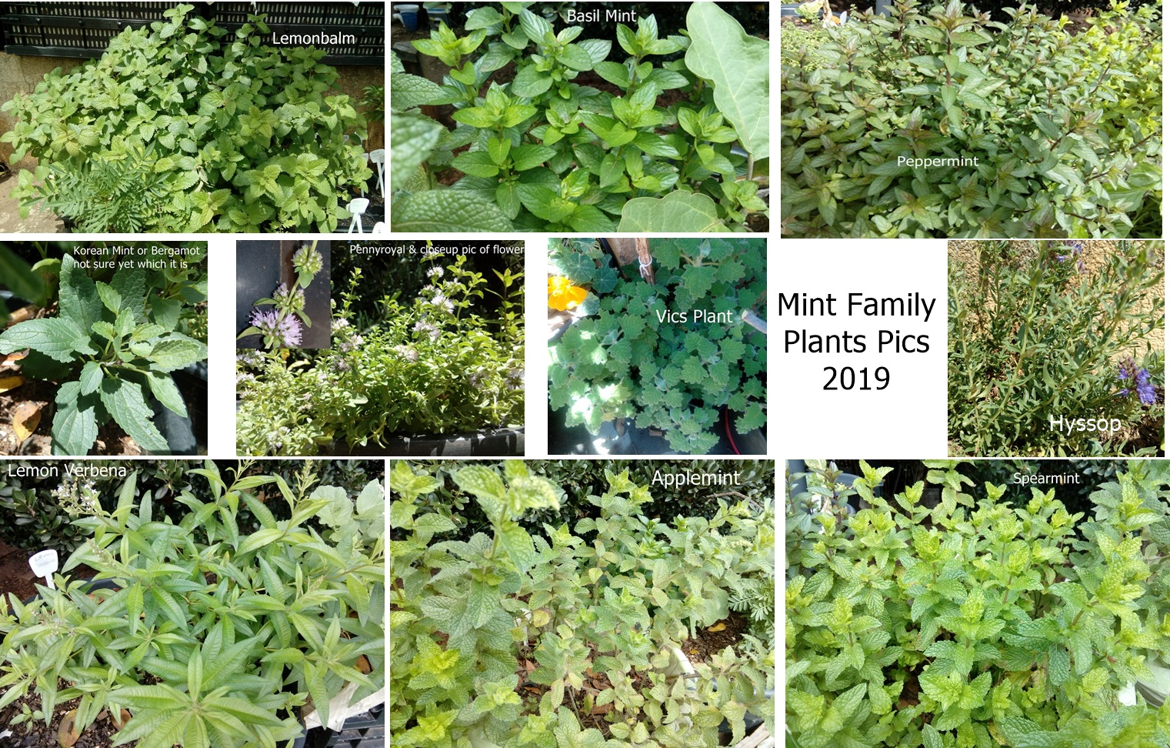 mintfamilyplantpics2019.jpg