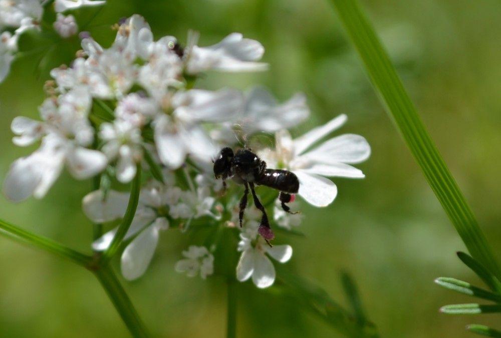 native be on coriander flower flying.jpg