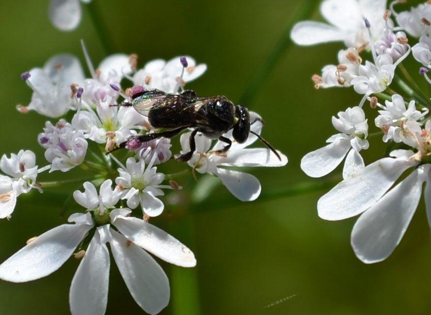 native be on coriander flower3.jpg