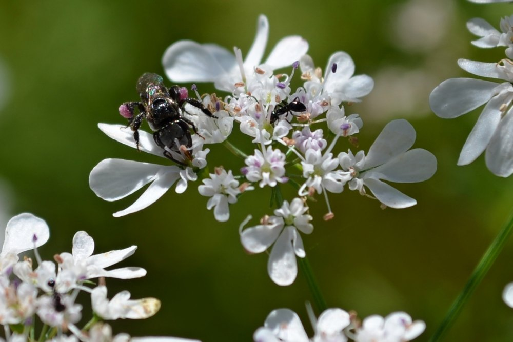 Native bee on coriander flower with ant 1000.jpg