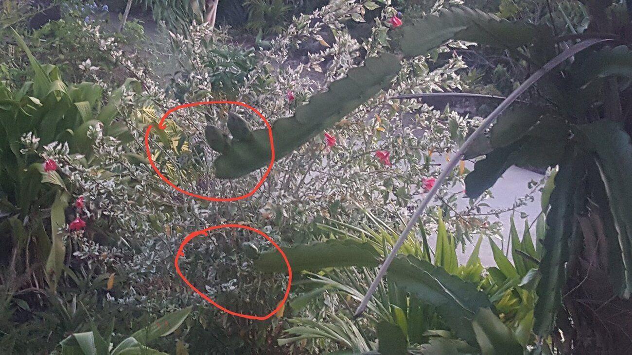 Night-blooming cereus1.jpg