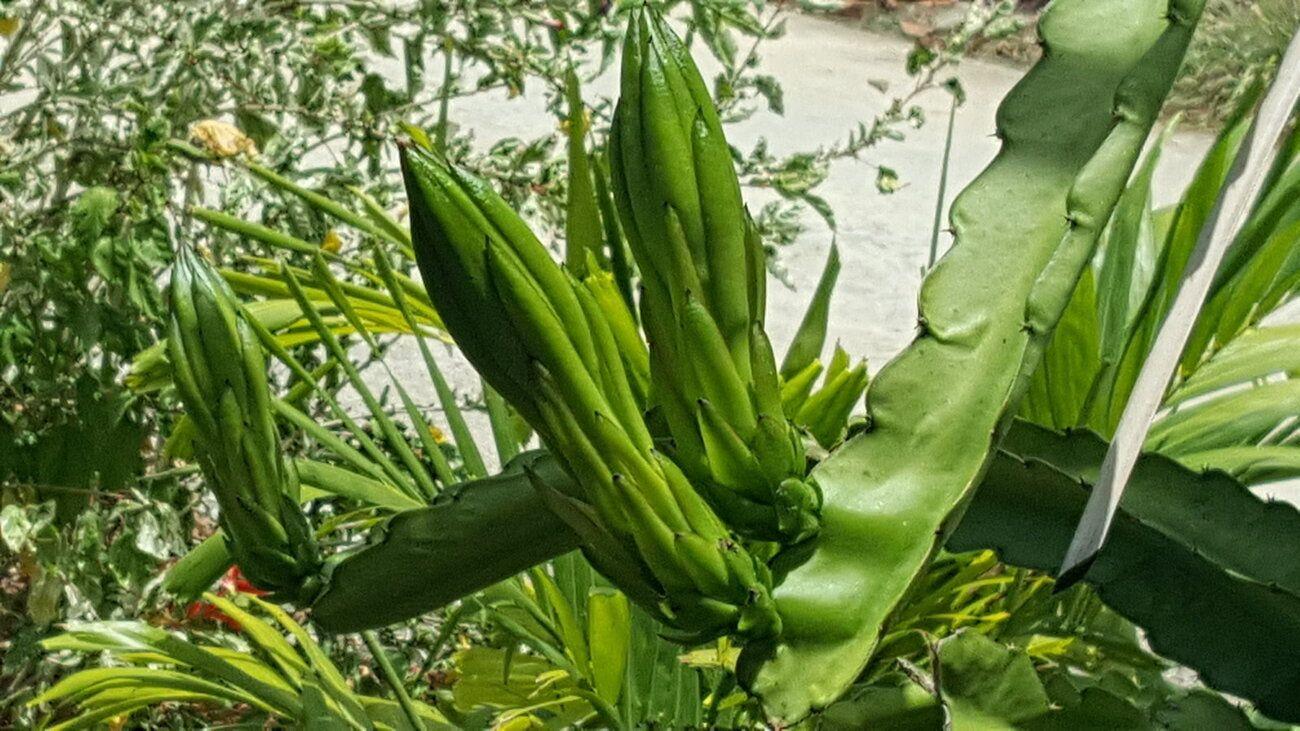 Night-blooming cereus2.jpg