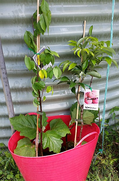 packaged small fruit tree plant purchased off eBay in bucket water.jpg