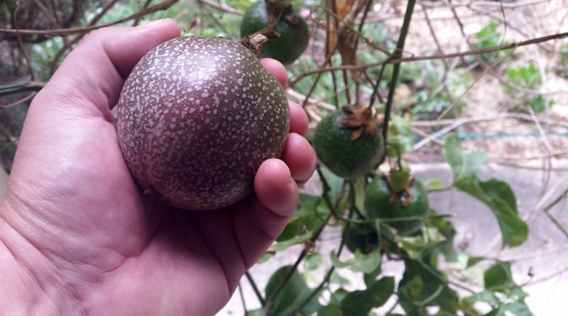 passionfruit as big as a cricket ball.jpg