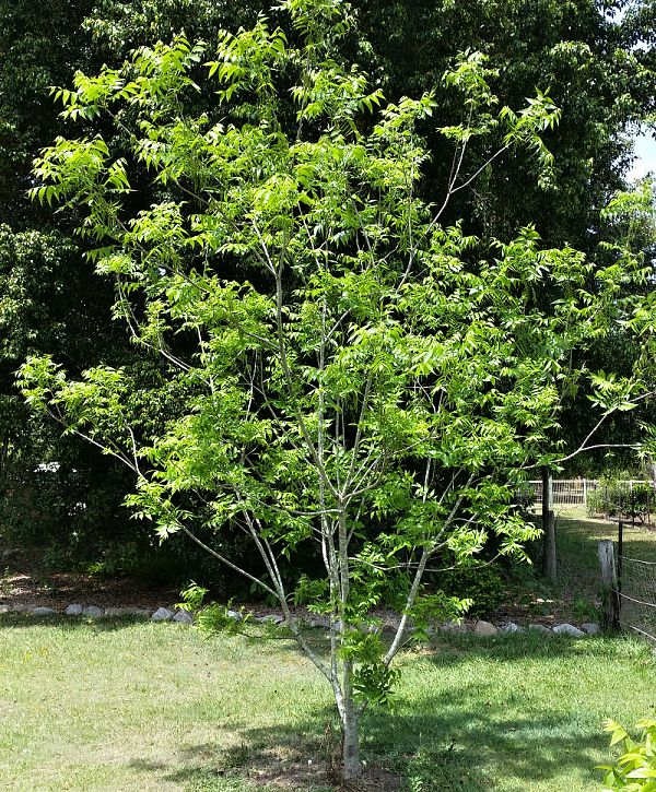 Pecan 5 years old shoshonii B type starting to flower first time.jpg