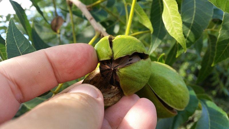 pecan nut on tree starting to open.jpg