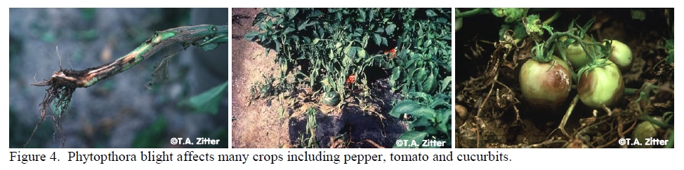Phytopthora of Tomatoes.jpg