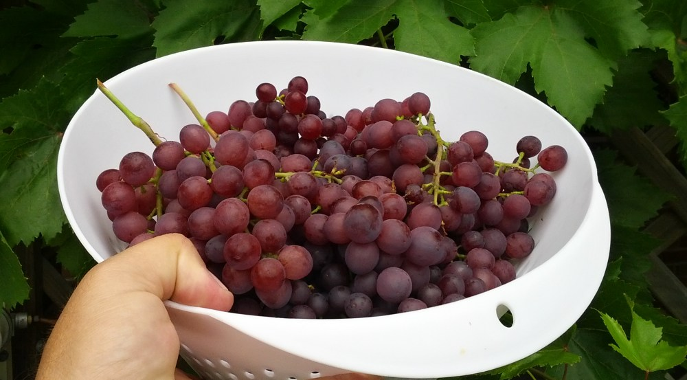 picked grapes 1000.jpg