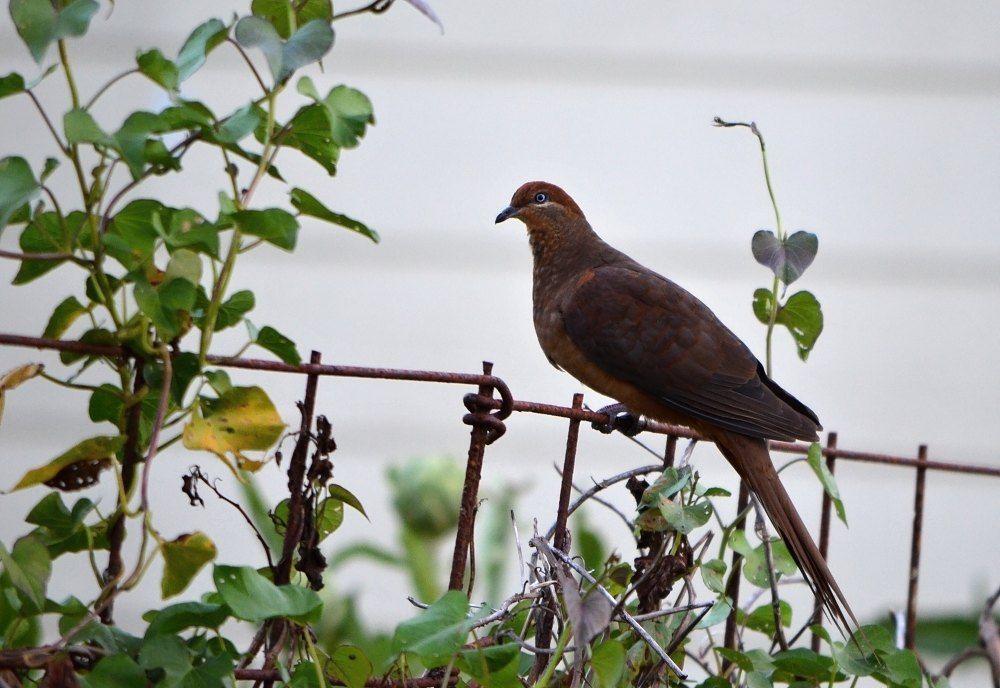 pigeon brown.jpg