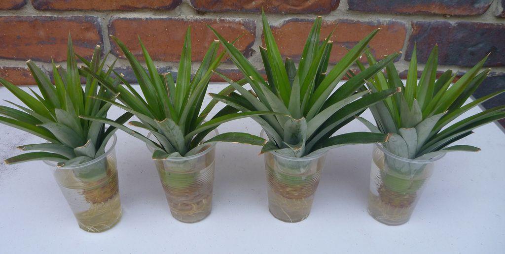 Pineapple-tops.jpg