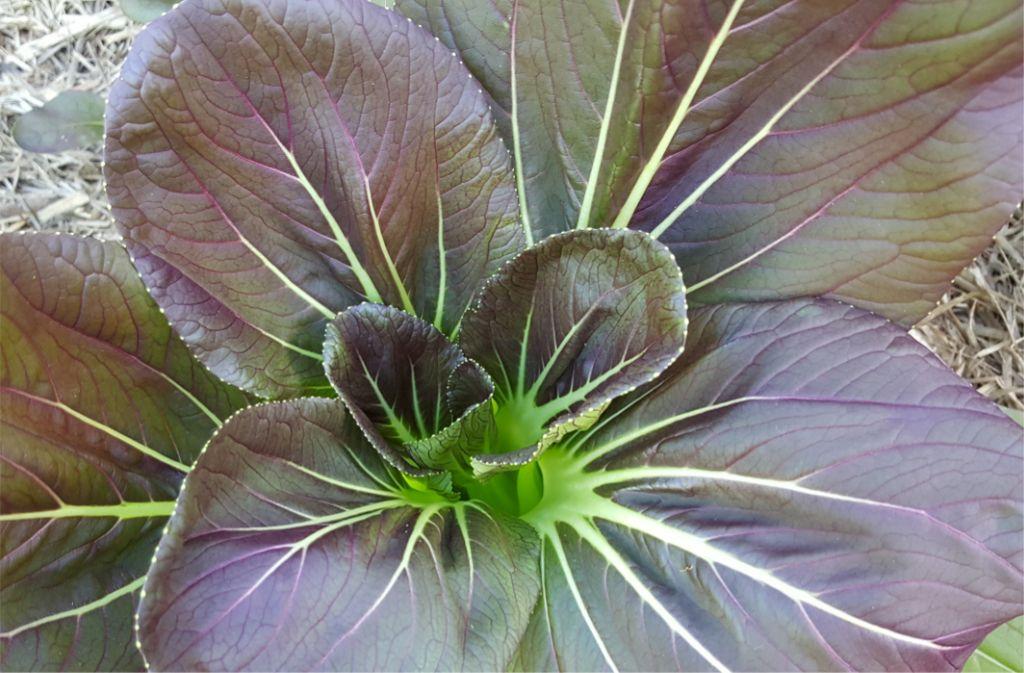 Purple Bokchoy.jpg