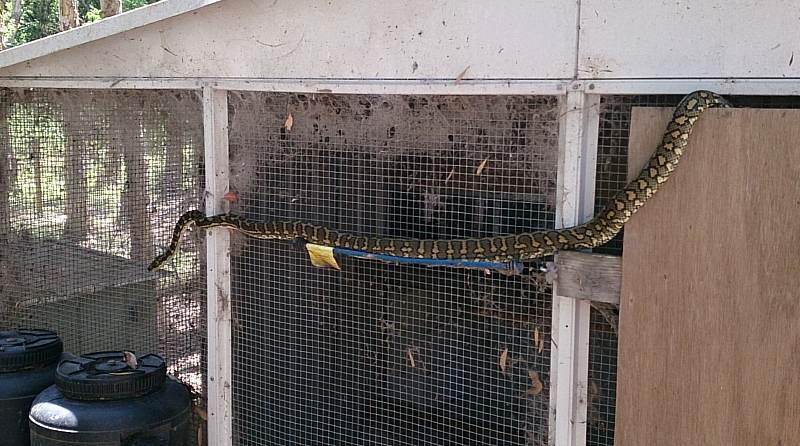 python snake chicken coop.jpg