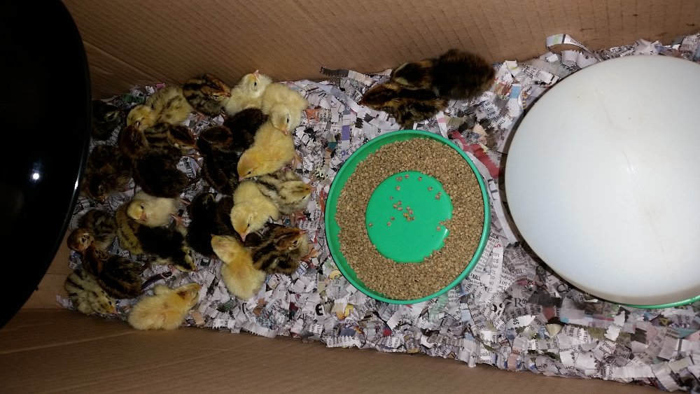 quail chicks newly hatched in temporary box brooder.jpg