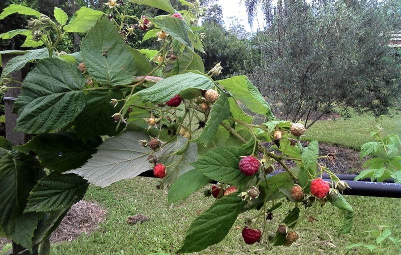 Raspberries home grown 800.jpg