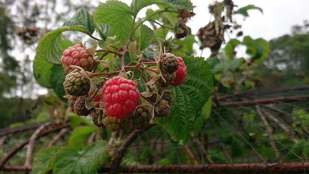 raspberries ripening.jpg