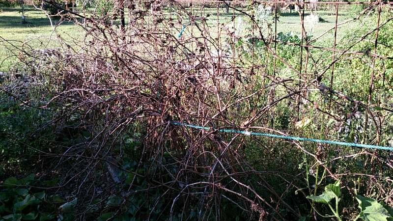 raspberry canes dormant mess.jpg