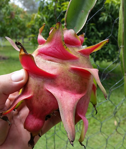 red dragon fruit variety with also red flesh.jpg
