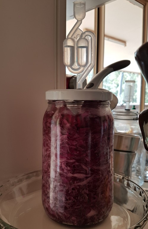 sauerkraut making in glass jar fermentation lacto from red mammoth rock purple cabbage organic.jpg