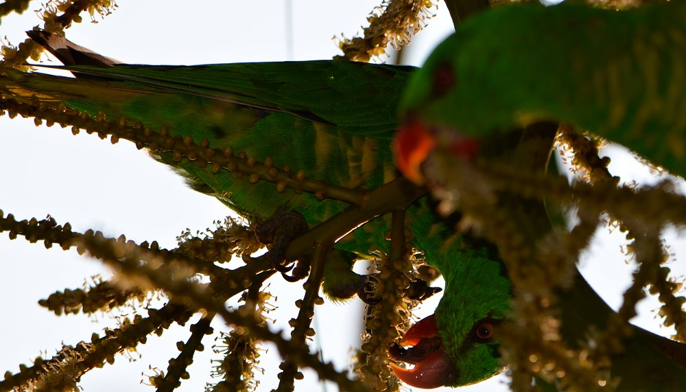 Scaly breasted lorikeet licking nectar from palm flower 1000.jpg