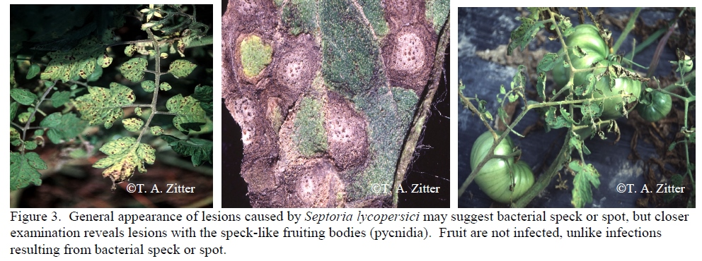 Septoria of Tomaotes.jpg