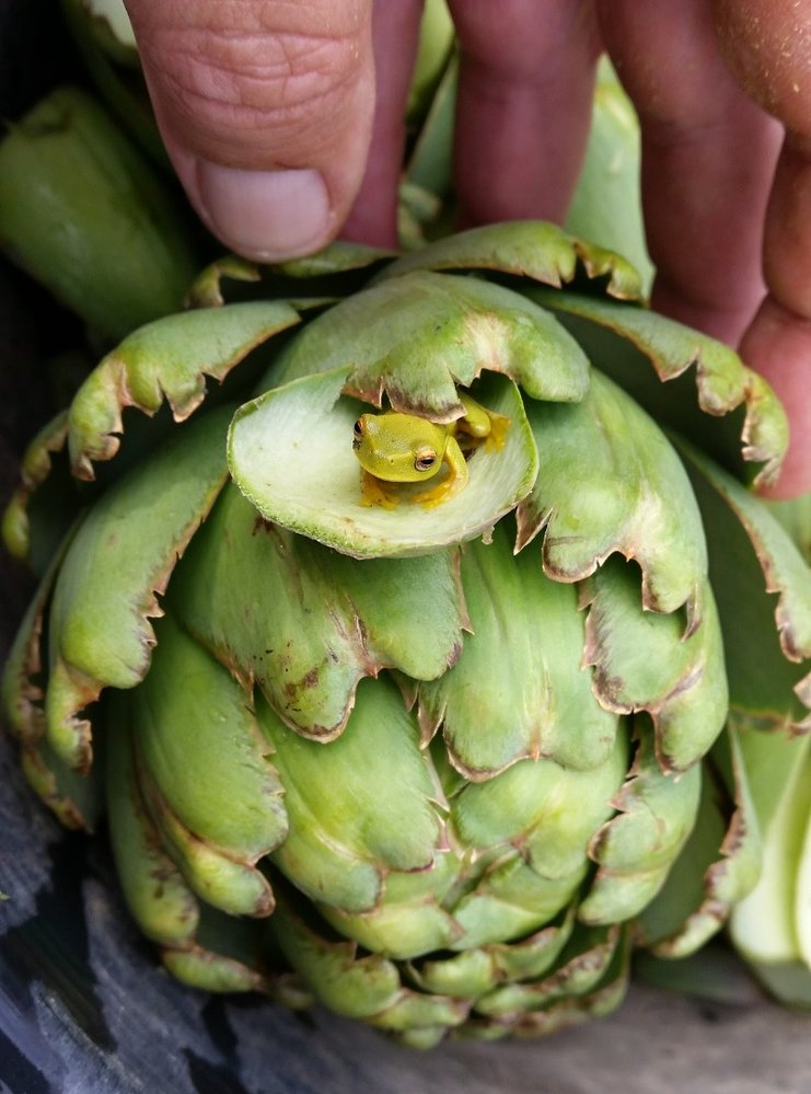 small frog in glob artichoke flower.jpg