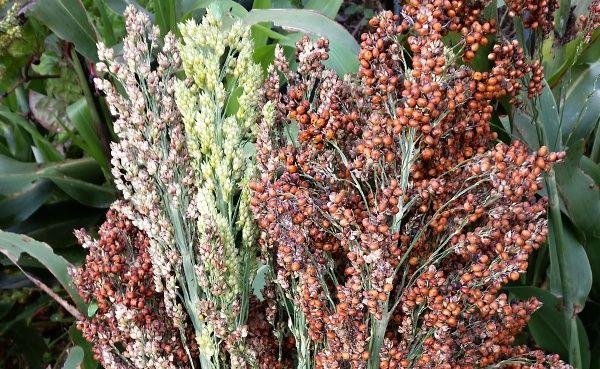 sorghum seed head.jpg