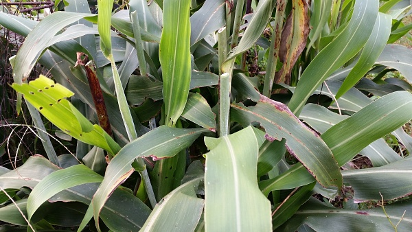 sorghum thick juicy leaves.jpg