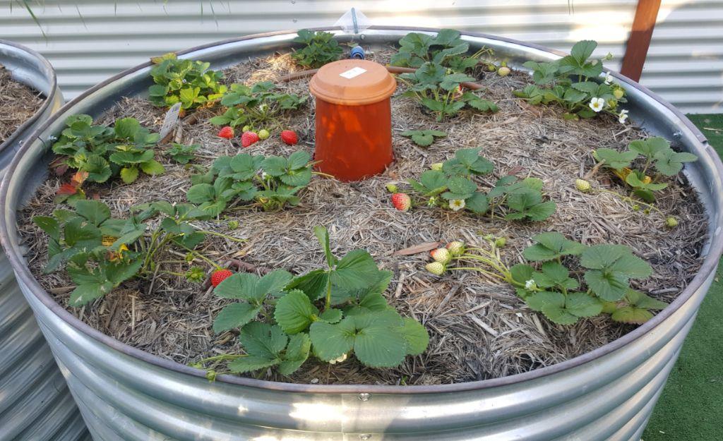 Strawberry bed.jpg