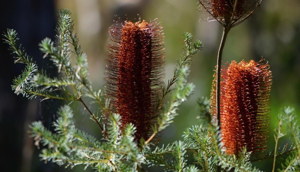 swamp banksia flower.jpg