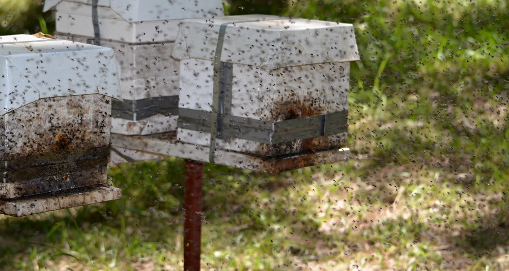 swarming stingless native bees 2 brood boxes.jpg