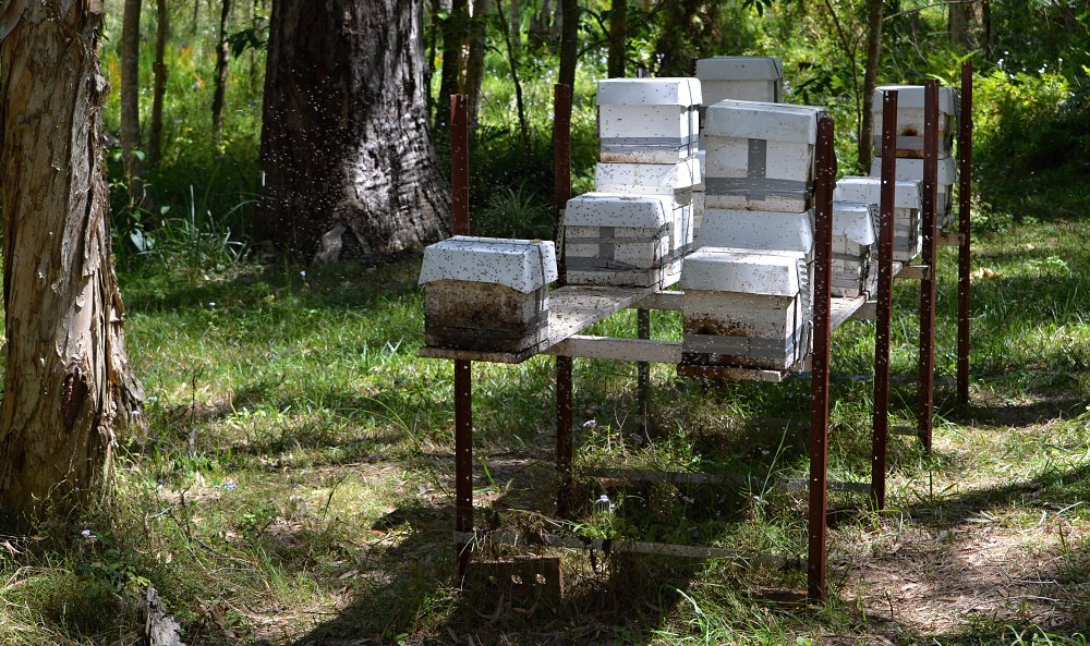 swarming stingless native bees hives set up.jpg