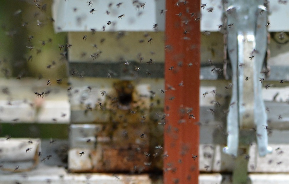 swarming stingless native bees.jpg