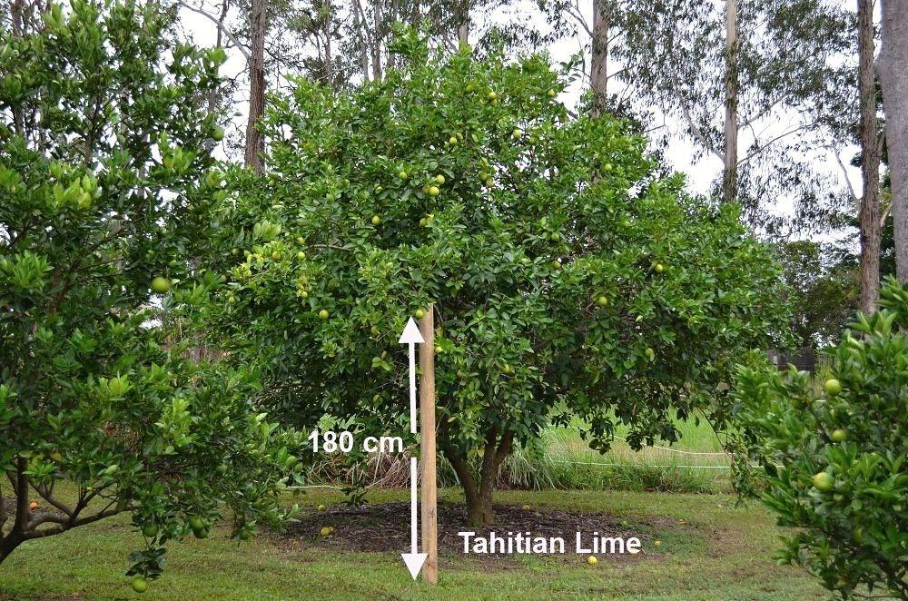 tahitian lime tree large.jpg