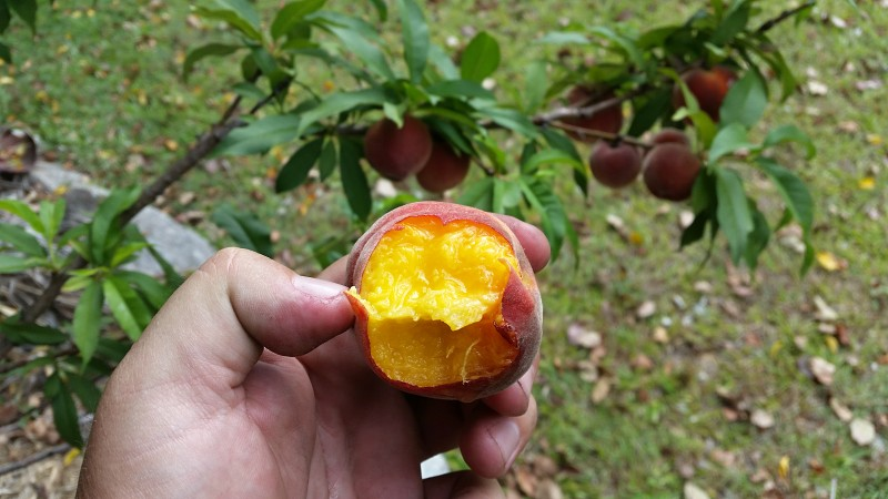 tropical peach low chill picked off tree bite taken.jpg