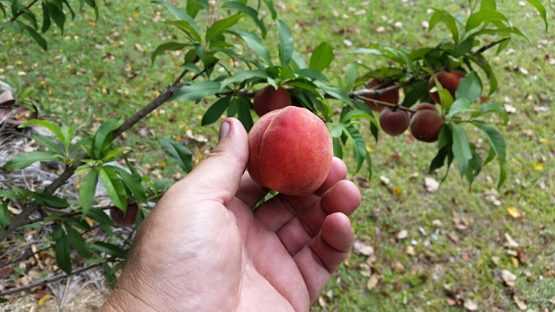 tropical peach low chill picked off tree.jpg