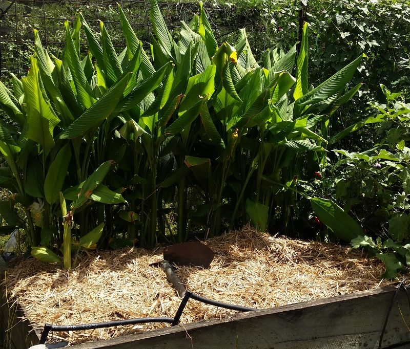 turmeric plant in vegetable garden.jpg
