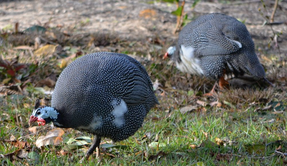 two guinea fowl.jpg