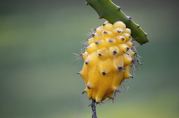 yellow dragon fruit spikes close up.jpg