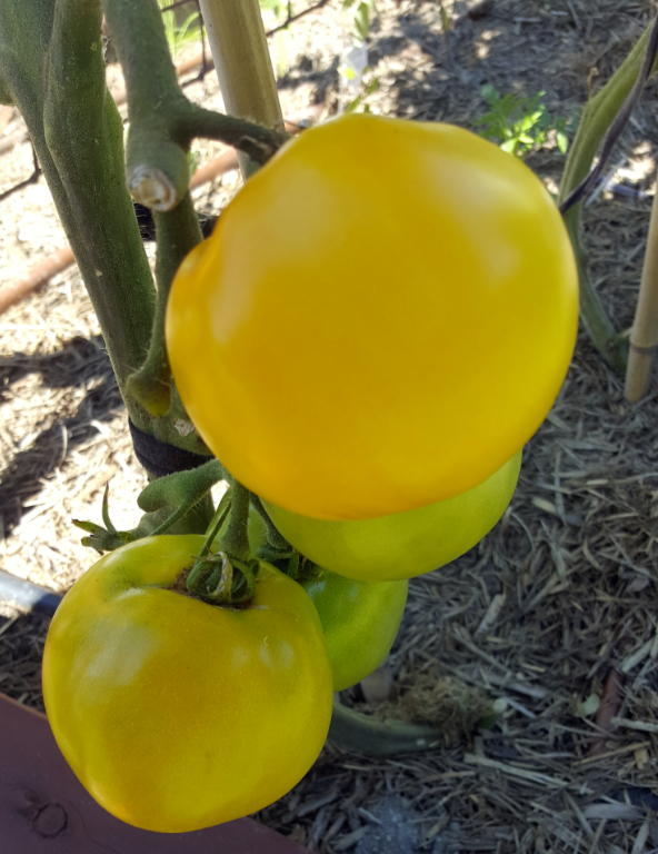 Yellow Tomatoes.jpg