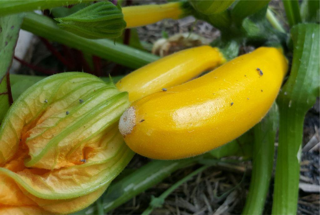 Yellow Zucchini.jpg