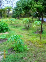 pawpaws 24Jun16 1.jpg