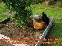 how to stop chooks throwing mulch everywhere.jpg