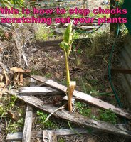 how to stop chooks scratching out your plants.jpg