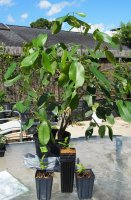 Java Plum all 4 new plants.jpg