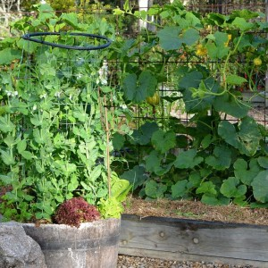 Snap Pea In Pot With Pumpkin Growing On Trellis In Background