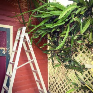 Cropping the dragonfruit tree