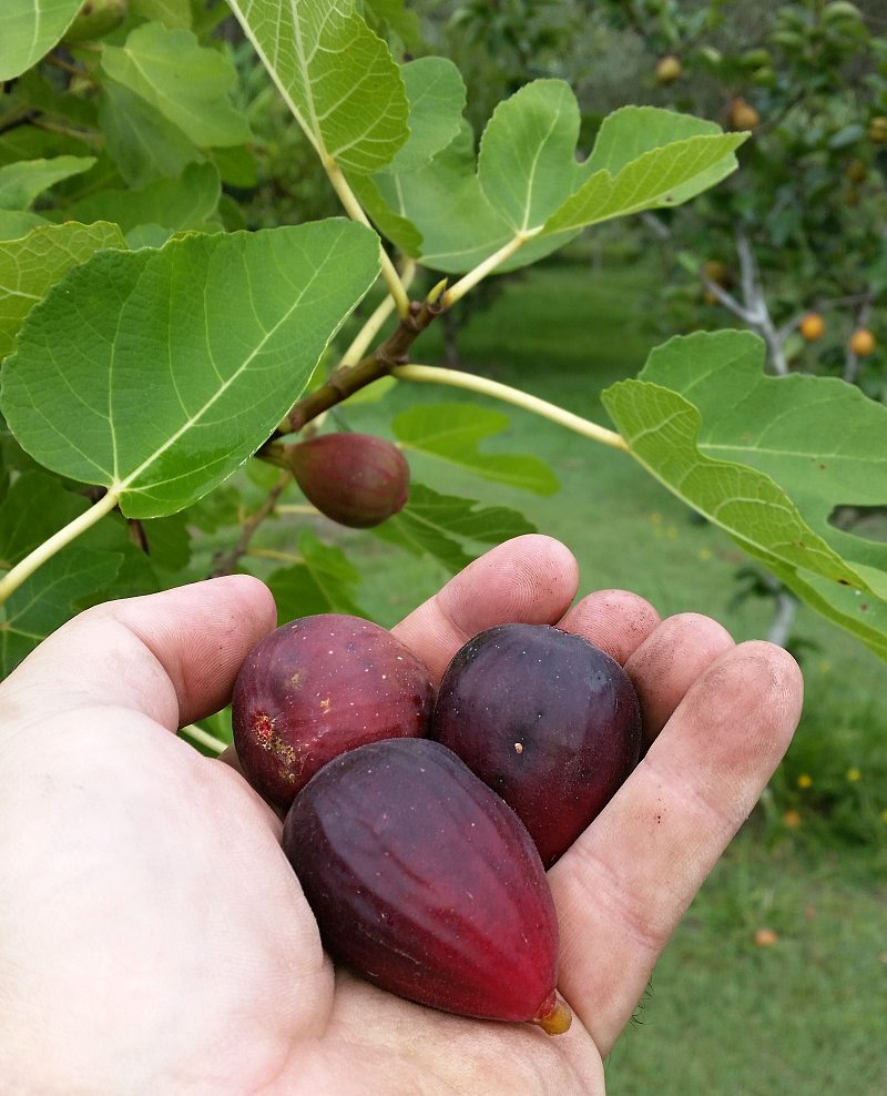 Fig Harvest Backyard