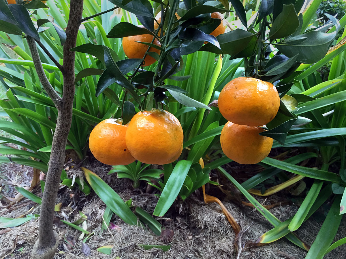 Mandarin produce year 1